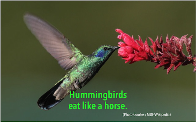 Hummingbirds eat like a horse